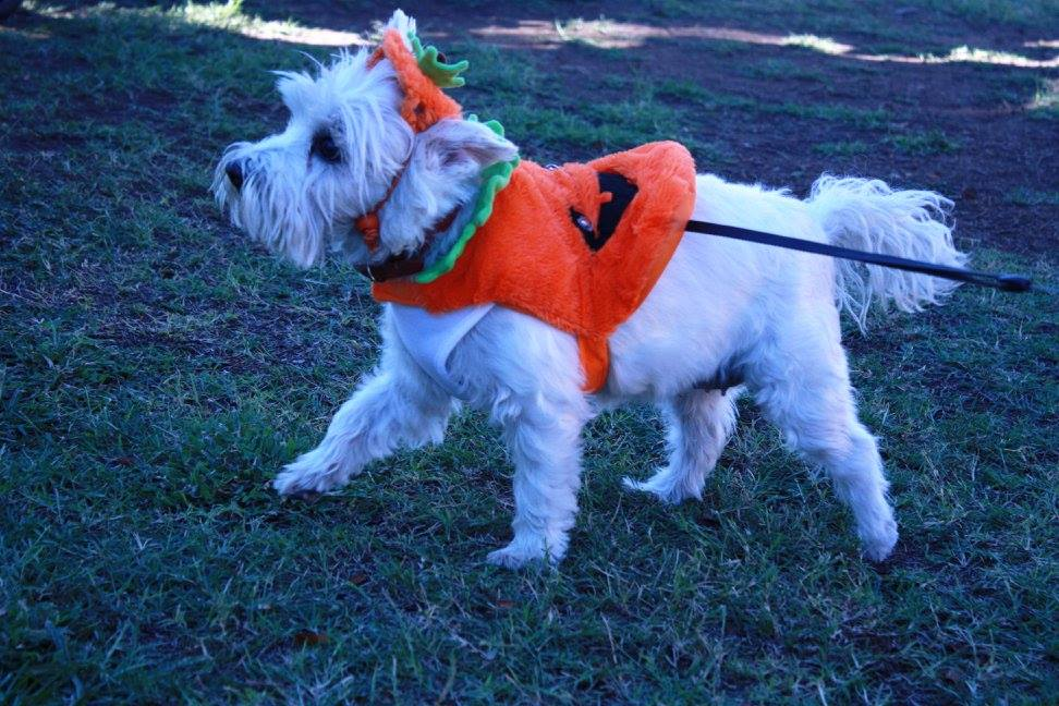 Photo of dog dressed in pumpkin costume